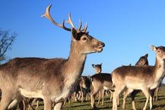 O cervo e faz Fotografia de Stock Royalty Free