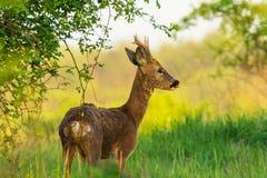 O cervo está na pastagem da manhã foto de stock royalty free