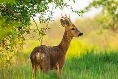 O cervo está na pastagem da manhã fotografia de stock