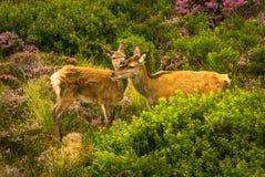 O cervo fêmea afaga com Fawn In The Scenic Landscape recém-nascida bonito de Escócia imagens de stock