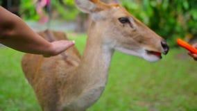 O cervo, jovem corça come cenouras do as mãos humanas video estoque