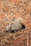 O cervo selvagem com o chifre dois reto está sentando-se Foto de Stock