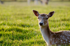 O Cervus nipônico dos cervos do sika na grama Imagem de Stock Royalty Free