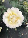 O chá amarelo aumentou na flor imagem de stock