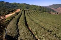 O chá coloca a vista em Choui Fong FieldsChaing Rai Fotografia de Stock Royalty Free