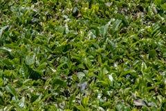 O chá folheia opinião do close up no dia ensolarado brilhante imagem de stock royalty free
