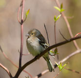 O chaffinch na mola Imagem de Stock Royalty Free
