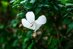 O chaina branco aumentou Fotografia de Stock