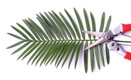 O chamaoensis do Cycas é nomeado após o único habitat conhecido desta espécie, Imagens de Stock