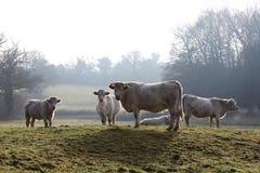 O charolês retroiluminado acobarda a névoa fria do inverno Imagem de Stock Royalty Free
