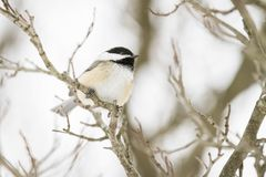O Chickadee Preto-tampado empoleirou-se em um ramo no inverno imagens de stock