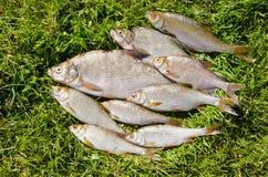 O chicote da brema da barata pesca o prendedor de pesca travado do lago Fotos de Stock