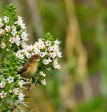 O chiffchaff comum do pássaro que olha atentamente no echium floresce Fotos de Stock