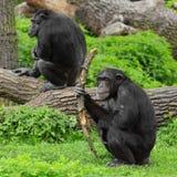 O chimpanzé. fotos de stock