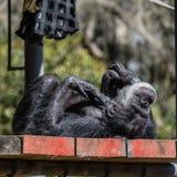 O chimpanzé estabelece no sol da tarde no San Francisco Zoo fotos de stock royalty free