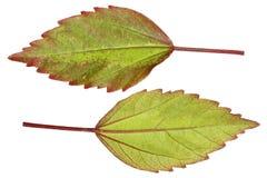o chinês bonito da parte dianteira e da parte traseira aumentou as folhas isoladas no branco Imagens de Stock