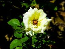 O chinês branco e amarelo aumentou florescendo foto de stock royalty free