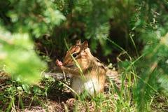 O Chipmunk esconde no Undergrowth foto de stock