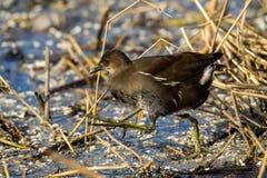 O chloropus comum do Gallinula da galinha-d'água igualmente conhecido como o pântano Imagens de Stock