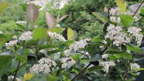 O chokeberry preto floresce melanocarpa de Aronia no jardim video estoque