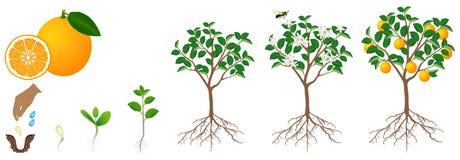 O ciclo de crescimento de uma planta alaranjada é isolado em um fundo branco Foto de Stock Royalty Free