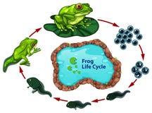 O ciclo de vida da rã ilustração stock