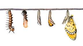 O ciclo de vida de Tawny Coster transforma da lagarta ao butterf foto de stock royalty free
