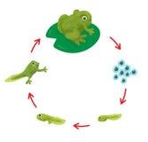 O ciclo de vida de uma rã ilustração royalty free