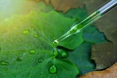 O cientista com pesquisa natural da droga e dos cosméticos, óleo orgânico da essência que deixa cair sobre a folha verde entre da imagem de stock