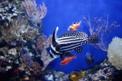 O cilindro manchado ou o ribbonfish manchado imagens de stock