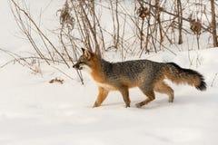 O cinereoargenteus de Grey Fox Urocyon anda através da neve Imagem de Stock