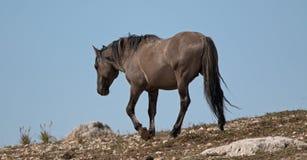O cinza de Grulla do cavalo selvagem coloriu o garanhão da faixa em um cume acima de um furo molhando de cavalo selvagem nas mont Fotografia de Stock Royalty Free