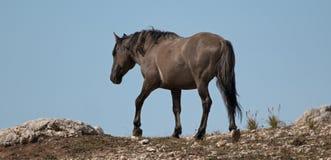 O cinza de Grulla do cavalo selvagem coloriu o garanhão da faixa em um cume acima de um furo molhando de cavalo selvagem nas mont Foto de Stock