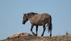 O cinza de Grulla do cavalo selvagem coloriu o garanhão da faixa em um cume acima de um furo molhando de cavalo selvagem nas mont Imagens de Stock