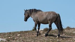 O cinza de Grulla do cavalo selvagem coloriu o garanhão da faixa em um cume acima do furo molhando de cavalo selvagem nas montanh Fotografia de Stock Royalty Free