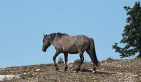 O cinza de Grulla do cavalo selvagem coloriu o garanhão da faixa em um cume acima do furo molhando de cavalo selvagem nas montanh Imagem de Stock Royalty Free