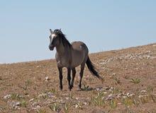 """O cinza de Grulla do cavalo selvagem coloriu o garanhão da faixa que anda abaixo de Sykes Ridge nas montanhas de Pryor no †""""Wyo Fotografia de Stock"""