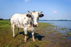 O cinza manchou a vaca com os chifres que olham curiosamente o photographe Fotografia de Stock Royalty Free