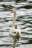 O cisne novo da cisne do bebê está descansando no ` da mãe Imagens de Stock Royalty Free