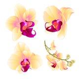O close up bonito da flor do Phalaenopsis amarelo da orquídea ajustou o vintage três em uma ilustração branca do vetor do fundo e Imagem de Stock Royalty Free