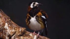 O close up bonito de uma castanha suportou o specie do tordo, o colorido e o tropical do pássaro de Indonésia, perto da espécie a vídeos de arquivo