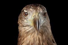 O close-up Branco-atou a águia, pássaros de rapina isolados no fundo preto foto de stock royalty free