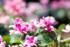 o close up completo horizontal do comprimento disparou de flores roxas róseos imagens de stock royalty free