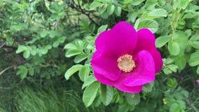 O close-up cor-de-rosa dos quadris cor-de-rosa Escarlate das pétalas e um núcleo amarelo Lisamente balançando na brisa morna filme