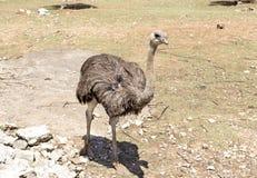 O close up da avestruz imagens de stock