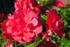 O close up da begónia cor-de-rosa floresce com gotas de orvalho Imagens de Stock Royalty Free