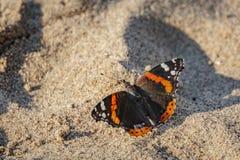 O close-up da borboleta Vanessa Atalanta do almirante vermelho senta-se no fundo ensolarado da areia clara fotografia de stock royalty free
