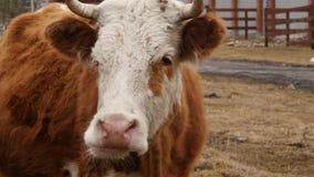 O close-up da cabeça de uma vaca mastiga a grama Gado em uma exploração agrícola 4K filme