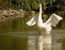 O close up da cisne branca na água verde de um lago, pássaro aquático grande com asas espalhou para fora, animal selvagem fotografia de stock