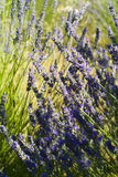 O close up da flor da alfazema (Lavandula) Fotografia de Stock